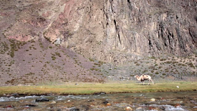 vidéos et rushes de two humped camels walking along river in mountains in grass meadow. - paroi rocheuse