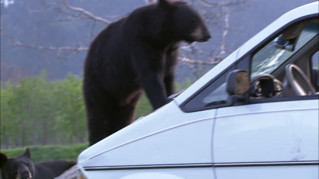 two hungry black bears approach a parked car in alaska. - bear stock videos & royalty-free footage