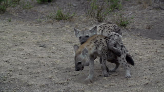 Two hyena pups play and fight with each other, Kruger National Park, South Africa
