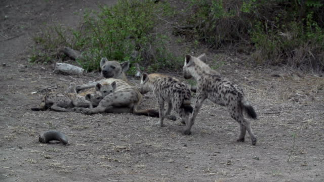 two hyena pups play and fight with each other, kruger national park, south africa - mpumalanga province stock videos and b-roll footage