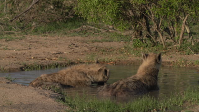two hyenas sitting in pan of water chewing on meat, kruger national park, south africa - mpumalanga province stock videos and b-roll footage