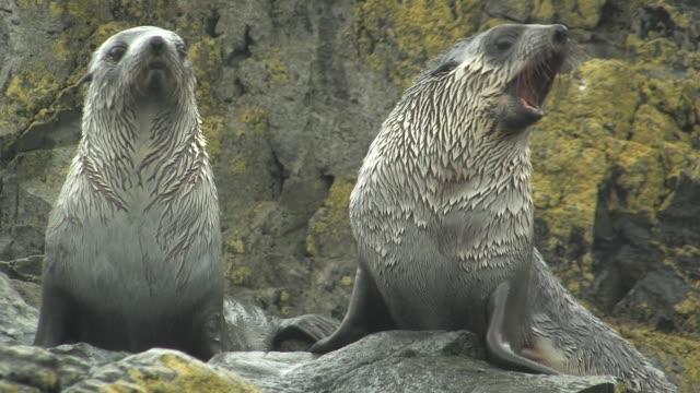 vídeos y material grabado en eventos de stock de cu, two immature southern fur seals (arctocephalus gazella) on lichen covered rocks in rain, south georgia island, falkland islands, british overseas territory - foca peluda