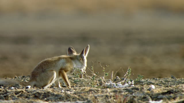 two indian desert fox cub eating and running - low angle shot - sitting stock videos & royalty-free footage
