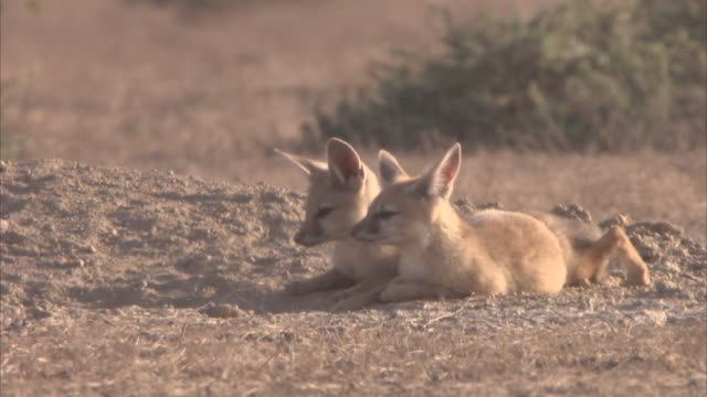 two indian fox cubs (vulpes bengalensis) lying side by side in the sun smelling their surroundings - side by side stock videos & royalty-free footage