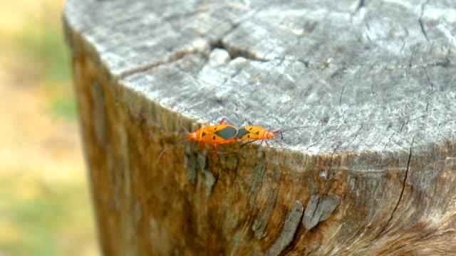 vídeos de stock, filmes e b-roll de dois insetos reprodução e andando no coto - camuflagem
