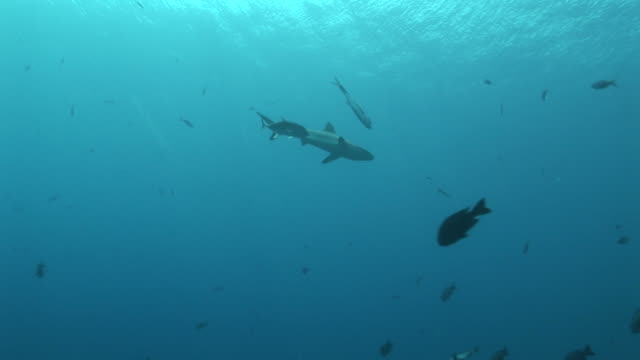 two jackfish mobbing gray reef shark (carcharinus falciformis). palau, pacific - grey reef shark stock videos & royalty-free footage