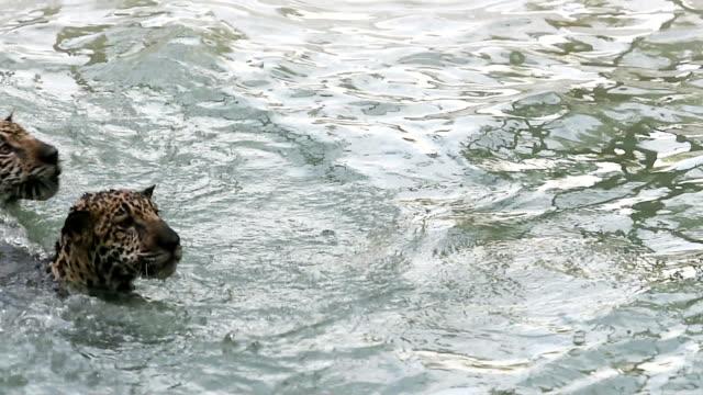 vídeos de stock, filmes e b-roll de dois jaguars brincando na água - two animals