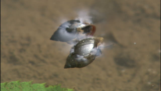 two japanese big-ear radix float on the surface of the water in saitama-ken tokorozawa-shi, japan. - conch stock videos & royalty-free footage