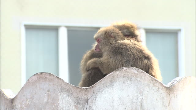 two japanese macaque cuddling on top of tower in park, zoom out to others in hot pool, jigokudani monkey park, hakodate, hokkaido - jigokudani monkey park stock videos & royalty-free footage