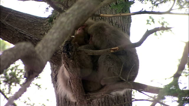 two japanese macaques huddled together in tree for warmth, mount yarigatake, nagano, japan - animal family stock videos and b-roll footage