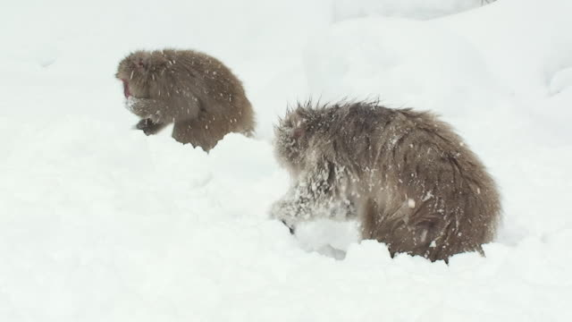 ms two japanese macaques (macaca fuscata) searching for food in snow / jigokudani, nagano prefecture, japan - digging stock videos & royalty-free footage