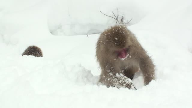 ms two japanese macaques (macaca fuscata) searching for food in snow / jigokudani, nagano prefecture, japan - 冷たい点の映像素材/bロール