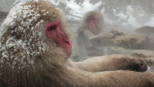 cu two japanese macaques (macaca fuscata) sitting in hot spring / jigokudani, nagano prefecture, japan - 猿点の映像素材/bロール