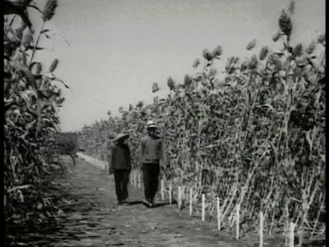 two japanese men walking through short growing plants checking stalks in kaoliang field workers harvesting tall kaoliang farm workers w/ gain storage... - sorghum stock videos & royalty-free footage