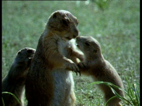 Two juvenile prairie dogs climbing on and playing with adult. Adult runs towards mound and all look around curiously