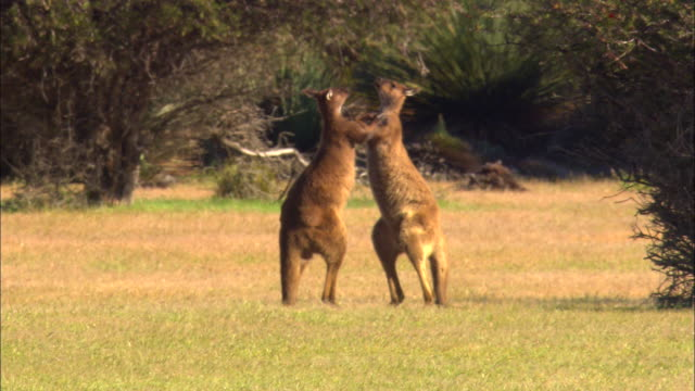 Two kangaroos box and fight with each other in an open field.
