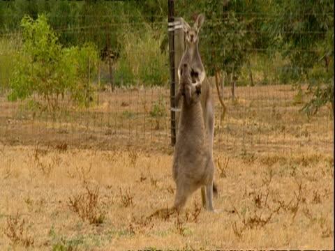 MS Two kangaroos boxing