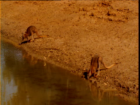 Two kangaroos drink nervously from waterhole in outback, New South Wales, Australia