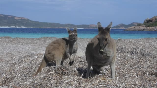 two kangaroos on the beach in lucky bay western australia - oceania stock videos & royalty-free footage
