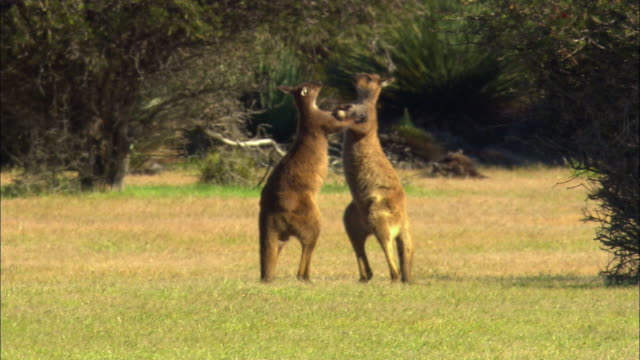 ms, two kangaroos rearing up and boxing in field, australia - 攻撃的点の映像素材/bロール
