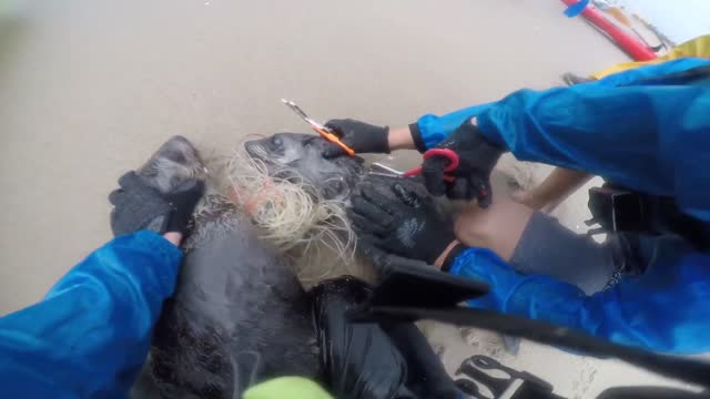 two kayakers rescued a pair of cape fur seal pups tangled in fishing line on a beach in pelican point, namibia, as seen in video... - https stock videos & royalty-free footage