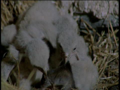 two kestrel chicks fight over a dead shrew, devon - babyhood stock videos & royalty-free footage