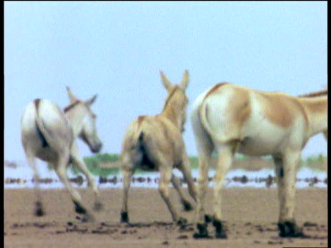 two khur stallions chase each other as one kicks out at the other, little rann of kutch, gujarat - hierarchy stock videos & royalty-free footage