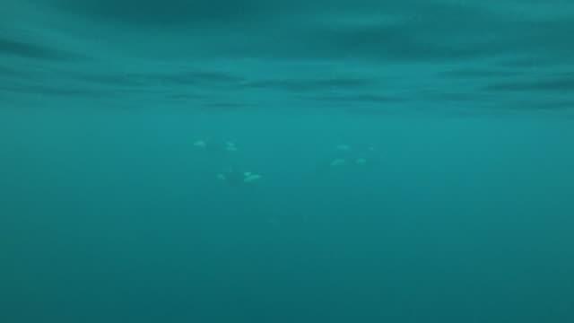 vidéos et rushes de two killer whale calves swim past the camera, kvaenangen fjord area, northern norway. - nageoire dorsale