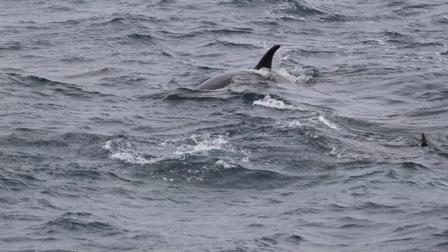 Two Killer Whales dive showing tail fluke, with Storm Petrel