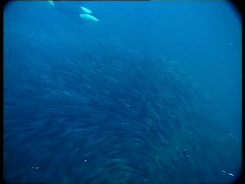 MS, Two Killer Whales diving behind school of fish swimming in ocean, Atlantic Ocean, Norway