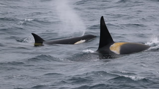 two killer whales pass each other in opposite directions - surfacing stock videos & royalty-free footage
