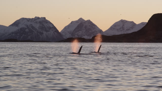 two killer whales surface and spout, norway - whale stock videos & royalty-free footage