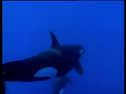 Two Killer Whales swim away from camera, Azores