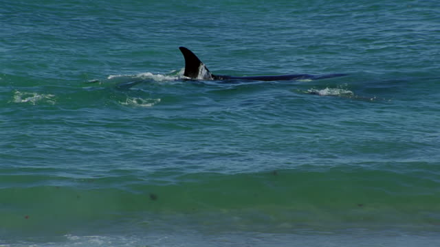 ms pan two killer whales try to catching swimming seal near beach / patagonia, argentina - seal stamp stock videos and b-roll footage