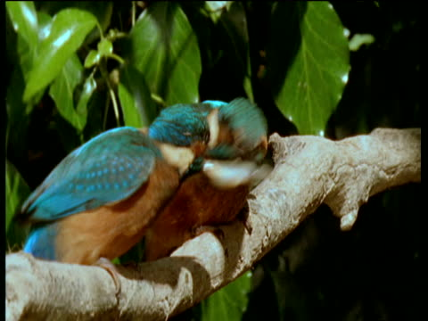 two kingfishers fight over a minnow, one kingfisher finally wins the tug of war and has fish in beak. - war stock-videos und b-roll-filmmaterial