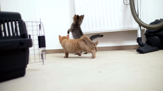 Two kitten hunting for a fly in slow motion