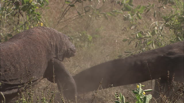 two komodo dragons walk across brush. - tail stock videos & royalty-free footage