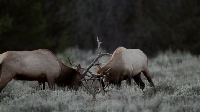 vidéos et rushes de ms two large bull elk (cervus canadensis) fighting at dusk during the rut - caribou