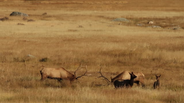 vidéos et rushes de ws two large bull elk (cervus canadensis) fighting in a meadow at sunset - caribou