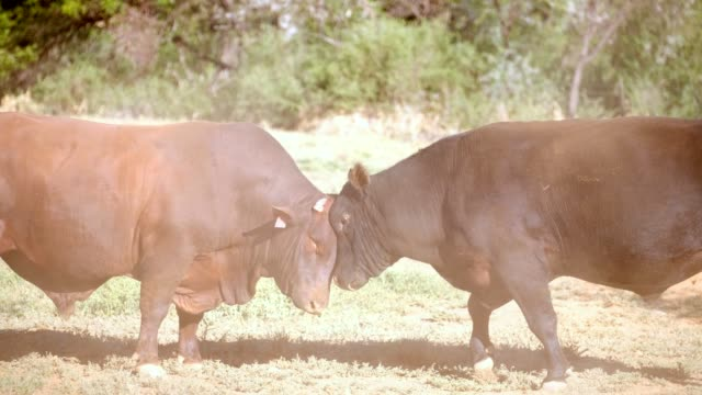 two large bulls fighting - the karoo stock videos & royalty-free footage