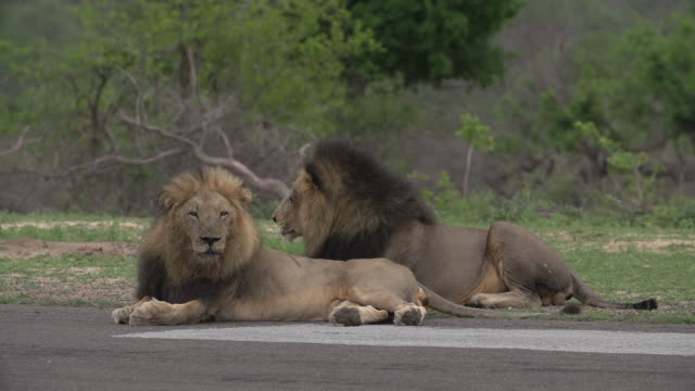 Two large dark-maned male lions groom themselves on an airstrip in the Kruger National Park, South Africa
