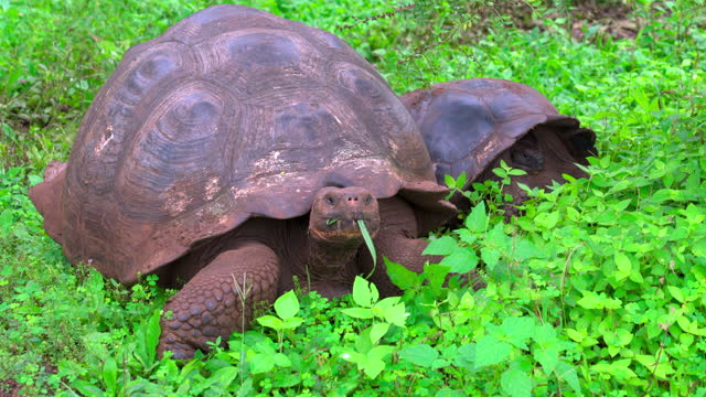 two large galapagos tortoises eat grass standing in lush plant life in sunshine - galapagos islands, ecuador - south pacific ocean stock videos & royalty-free footage