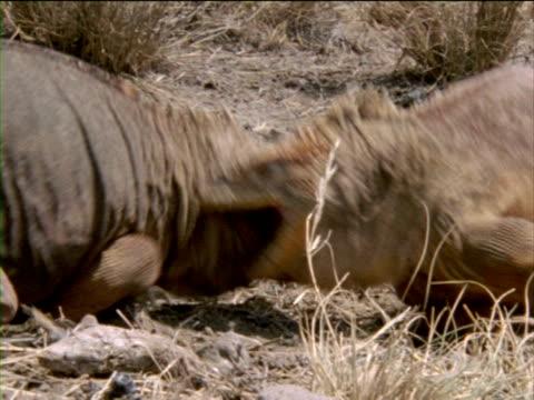 vídeos y material grabado en eventos de stock de two large iguanas attack each other in the desert dust. - iguana de los galápagos