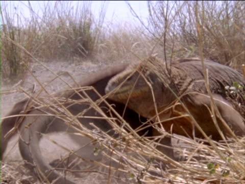 vídeos y material grabado en eventos de stock de two large iguanas fight in the desert brush. - iguana de los galápagos