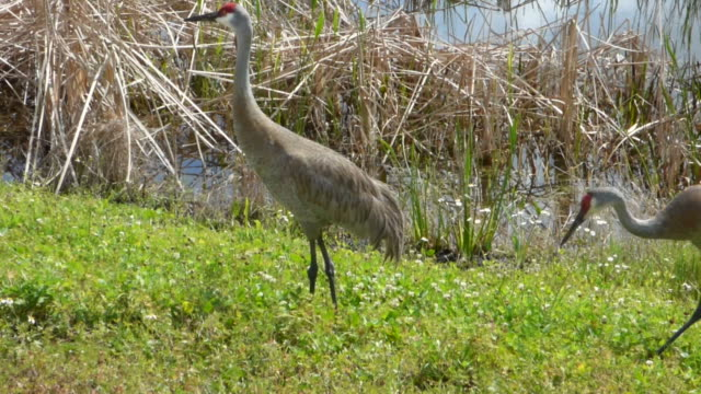 two large sandhill cranes foraging in green grass in a florida wetland - sandhill crane stock videos & royalty-free footage