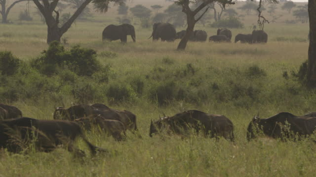 two large wildebeest prance around a migrating line of honking wildebeest, while a herd of elephants grazes in the background, tanzania. - calf stock videos & royalty-free footage
