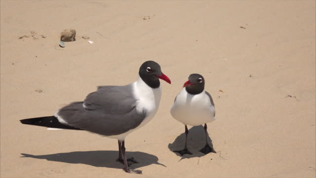 Two Laughing Gulls (Larus atricilla) on South Padre Island Beach, Texas - Seagulls