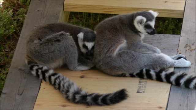 Two lemurs resting with each other