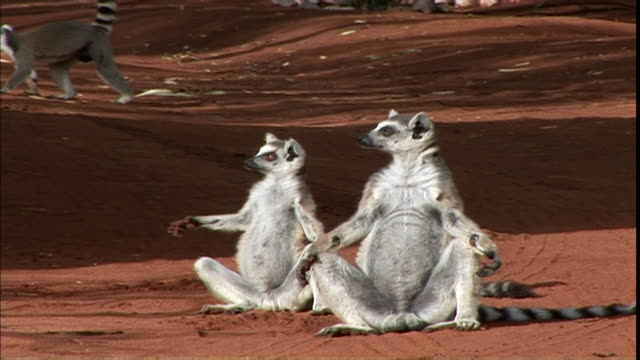 ms cu two lemurs sunning in yoga position / madagascar - slapstick stock-videos und b-roll-filmmaterial