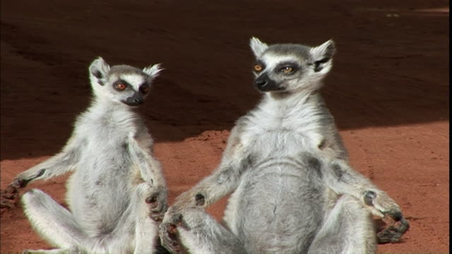 MS CU Two lemurs sunning in yoga position / Madagascar